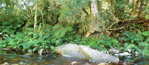 The Knysna Forest